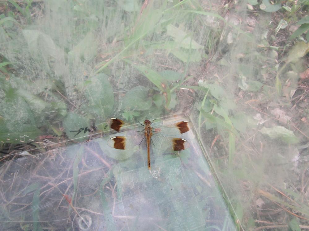 8月にこんなトンボをみつけました。ミヤマアカネで間違いないでしょうか?
