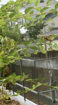 蜂の種類、習性、対応について  玄関先の同じ植物に毎日蜂がやってきて昼前から夕前まで滞在しています。数は1-2匹で、巣は今のところ確認できません。習慣?のようで毎日同じ場所で同じ種類 で同じくらいの大...