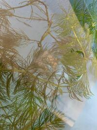 メダカの卵? 屋外で飼育しているメダカの水槽の藻に卵のような物がついていました。 水槽にはメダカ以外飼っていませんが これはメダカの卵でしょうか?  メダカは十数匹です。