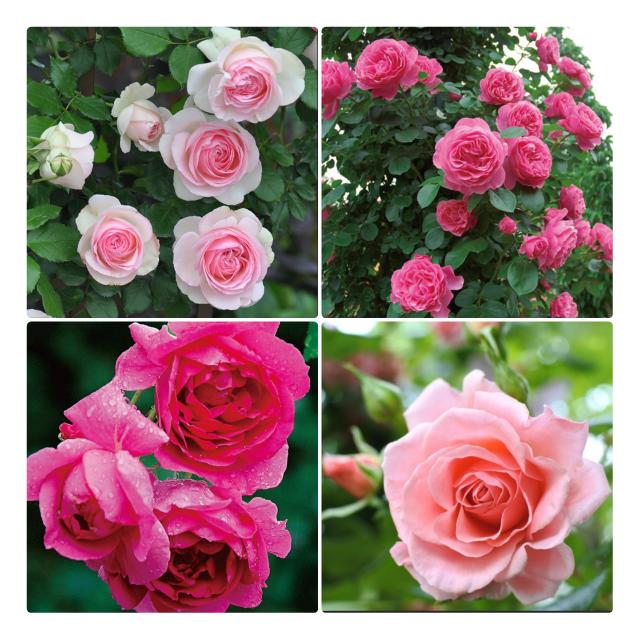 西日に強いつるバラ。 西向きに花壇を作る予定です。 (玄関が近いので家の顔になるスペースです。) トゲの心配があるのでクレマチスメインで植える予定で、つるバラは1本だけ植えようと思っています。 東南