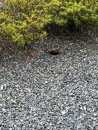 蜂の巣?  家の前の砂利のところに、コロンと何かがあり、主人に見てきてもらったら、蜂の巣だと言います。 私は近寄っていないので、遠くからの写真ですが、 これは何の蜂の巣かわかりますか? どのように処理し...
