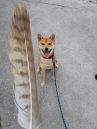 呼び戻しの精度を高めたい場合、犬笛は有効ですか? 柴犬です。呼び戻し、待ては5mのロングリードで繋がれたままならできます。ですが、外でのノーリードのときは聞きません。ノーリードでも家の中なら従います。 犬笛は注意を引き付けると聞いたので、訓練すれば有効なんじゃないかと思いました。それから、声での呼び戻しと 犬笛での呼び戻しは併用することはできますか?