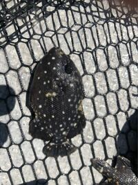 船釣りしてる時、伊勢湾の水面近くでこんな魚が10匹くらいの群れで泳いでしました! なんて、魚ですか? 船長が網で救った後は、海に返しました!