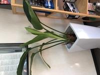観葉植物の名前と育て方を教えてください。  8年ほど前に贈り物で戴いたものです。 定期的に水やりのみしかしていません。 毎年新葉が出てくるのですが、だんだん茎が短くなってきているの で栄養不足なのか...