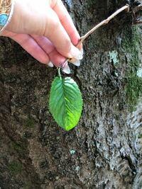 この植物がわかる方よろしくお願いします 木と葉は同じものです。