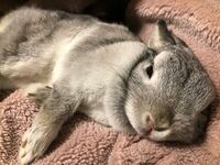 最近、飼ってるウサギが隣でこんな感じで寝るようになったんです。 私の手に頭置いて寝たりしてるんですけどこれって懐かれてますか?