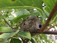 何の巣か教えてください。 高さ2メートルくらいの木の枝にありました。 大きさは10センチ弱です。 周辺に飛んでいる蜂などは見当たりません。  巣がついたまま枝を切り落とそうと思うので すが、その対処で...