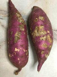 9月10日に試し堀りをしたサツマイモですが、写真のようにひどいケロイド状になっています。 1ヵ月前にも試し堀りをしたのですが、その時はもう少し小さめでしたがきれいなサツマイモでした。 という事はこの1ヵ月...