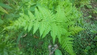 これはなんという植物ですか? 親に、庭の雑草を抜くようにと言われました。 雑草ですか?