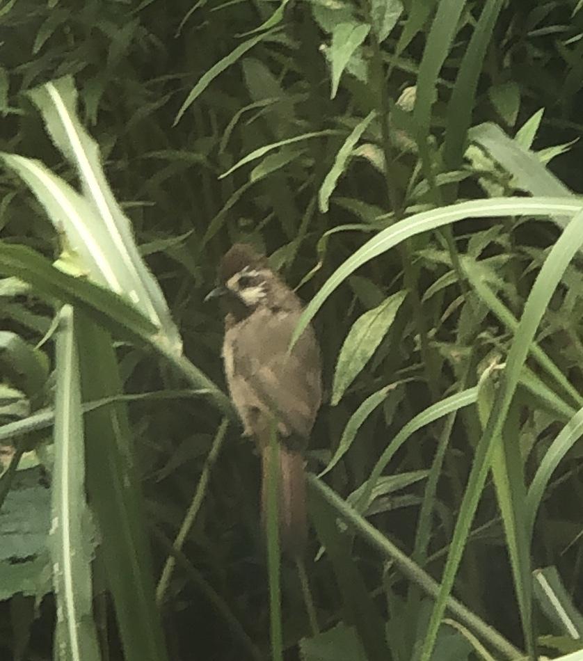 この鳥の名前を知っている方教えてください。 特徴 ・全体的に茶色 ・ツグミぐらいの大きさ ・眉と頬は白く顎が黒っぽい ・頭がボサボサしている ・くちばしは黒 スズメと一緒に3羽ぐらい一緒に...