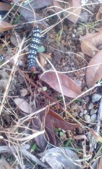 虫・閲覧注意。  この画像は何の幼虫でしょうか? 蛾の幼虫だろうと思って検索しても、毛の生えてる似たようなのは居ますが、画像と同じのが見つけられません。お腹側もオレンジです。  近所の公園で去年の12...