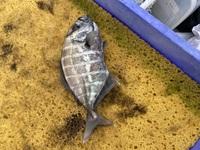 この魚何ですか? ゼイゴらしきものが付いていてヌメヌメしてます。 教えてください