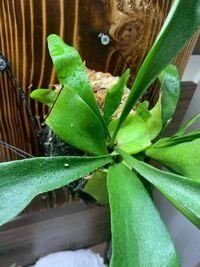 ビカクシダ ビカクシダ を育てていますが、2枚目の貯水葉が胞子葉に被さるように生えてきてしまいました。  これは何もせずにおいた方がいいでしょうか。 それとも貯水量を根本から切ってしまった方が良いでしょ...