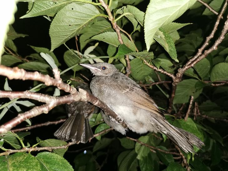 この鳥の名前ってなんでしょうか? 今家の前の木に3匹とまっていてすごく気になります。