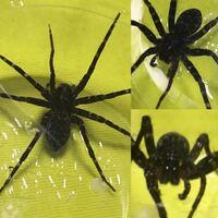 この蜘蛛 の名前わかる方お願い致します。 画像はレッグスパン6cm位なので何かの幼体かもしれませんが断定が出来ません。
