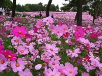今日はコスモスの日です。 コスモスの由来はギリシャ語で「宇宙の秩序」を意味する「コスモ」(Cosmo)です。 コスモスの花は好きですか? 他に好きな花はありますか?  COSMOS(宇宙) 山口百 恵さん   https:/...