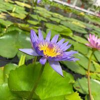 花について。 先日、大分別府の「海地獄」に行った時の写真ですが、これはハス(蓮)の花でしょうか?スイレン(睡蓮)の花でしょうか? 確か「ハス」と書いてあった気がしますがうる覚えなので