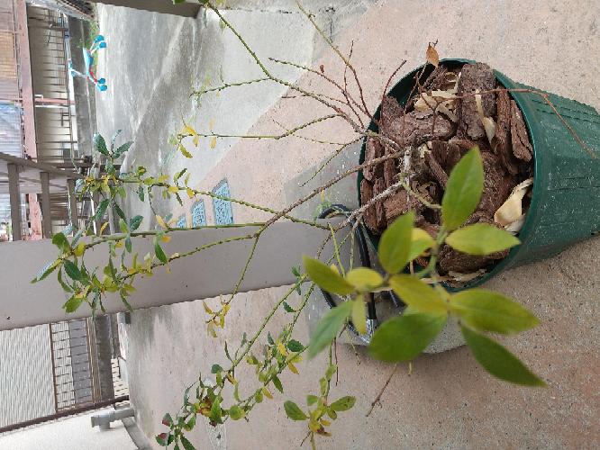 今年6月に購入、5号鉢→8号鉢に植え替えしたブルーベリーのサンシャインブルーですが、前々から元気がなかったのですが、ここ最近葉っぱが枯れこんできてしまいました。 水のあげすぎかと思って今は2日~...