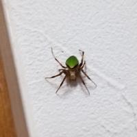 この蜘蛛(くも)は何て言う蜘蛛ですか? 写真のように半分緑色です。