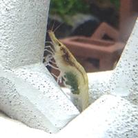 ミナミヌマエビが抱卵しました 2匹抱卵しています 毎日観察していたので、おそらく現在5日目です 水槽内で隔離予定ですがいつ頃移したらいいですか? 隔離中は水草を少し入れる予定ですが、餌も必要ですかね? あとどれくらいで孵化するのか楽しみです