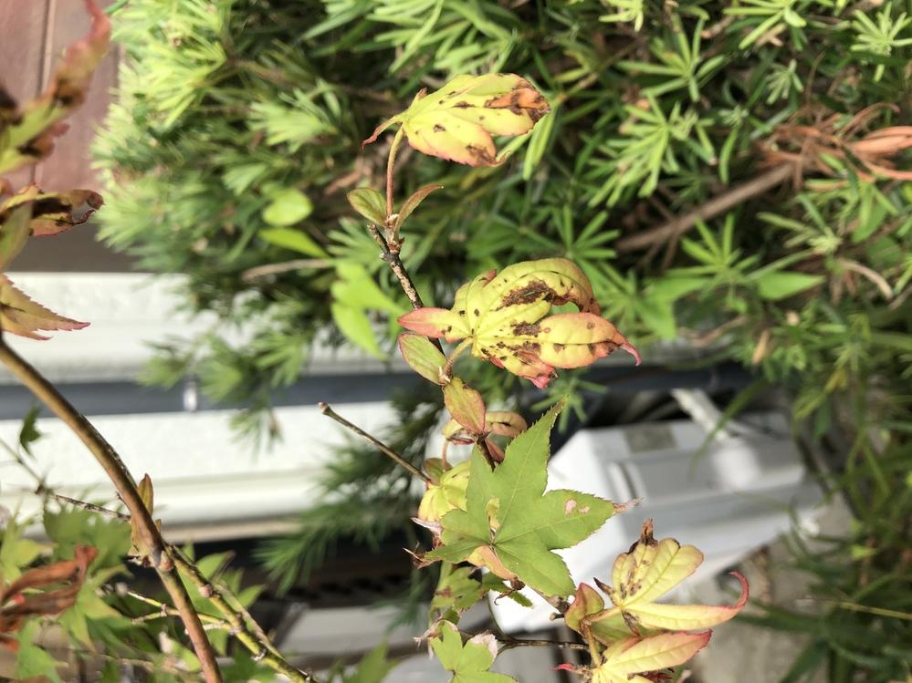 さつきもみじを庭に6月に植えました。 8月頃に葉が枯れ始め、水を多くやるようにした所葉が枯れることは少なくなっていきました。 しかし、9月に入りまた葉が枯れ始め、新たに生えてきた葉も黒い斑点が...
