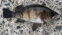 この魚は黒鯛(カイズ)ですか?
