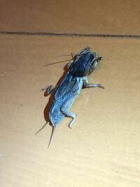 ⚠️虫写真注意⚠️ この虫がなんの虫か教えていただきたいです! 見たことない大きい虫でした… 足を怪我してるのか歩き方はゆっくりでした。 もしかして… G…ですか?