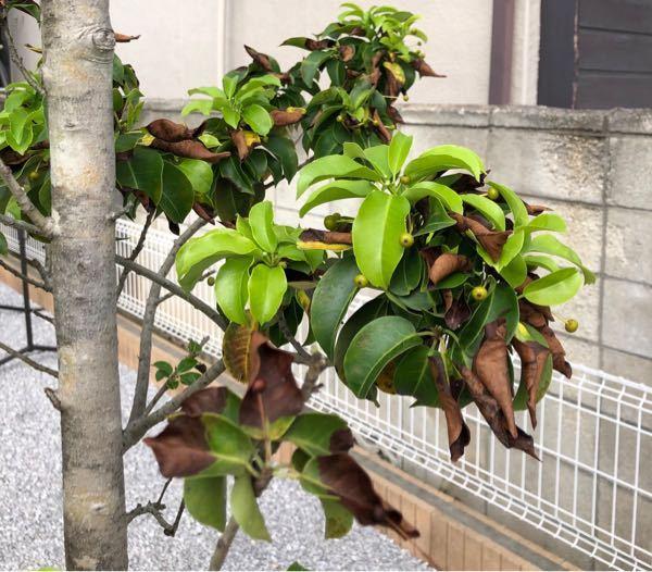 3年ほど前に植えたソヨゴの木の葉が、所々枯れてきてしまいました。ネットで検索すると『黒点病』や『スス病』というのが出てきましたが、画像を見るとそれらとは違うように感じます。(昨年、カイガラムシが...