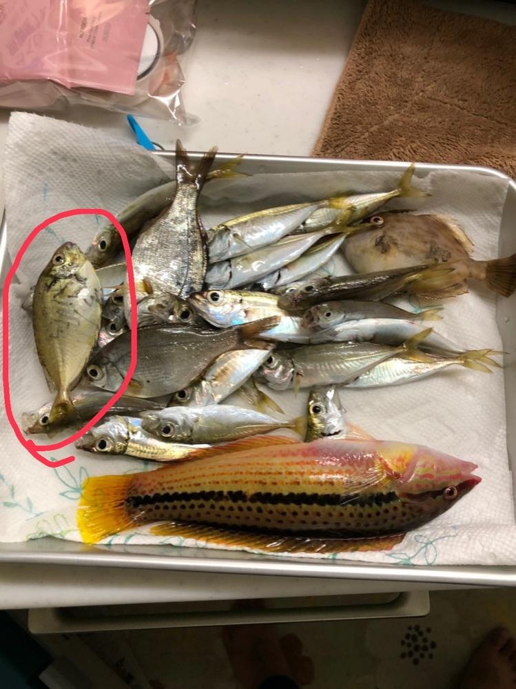 すみません。 こちらの赤丸の魚は何という名前でしょうか?