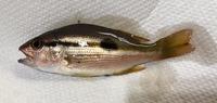 この魚の名前を教えていただけますか。  日本海、サビキで釣れました。 体長3〜5cmぐらいの同じ魚が数匹釣れましたが名前がわからず困っています。  どなたかお判りになる方、回答のほどよろしくお願いいたします。