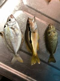 今朝サビキ釣りをしました。 半分はアジゴでしたがこの写真の魚の名前は何ですか?食べれますか? 教えて下さい。