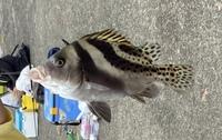 大磯港の堤防で釣りしてたら釣れた魚なのですが、この魚はなんていう名前ですか? 調べてもわからなかったので教えて頂ければと思います。よろしくお願いします。
