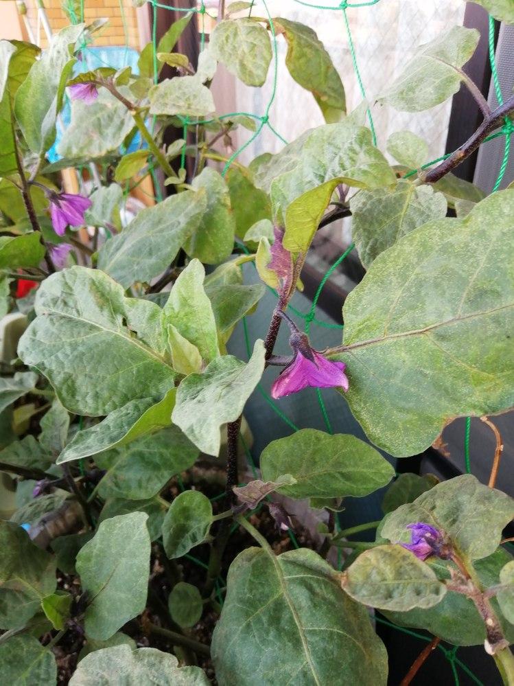 ベランダでナスを育てています。花がいくつか咲きますが実がつきません。南向きですがベランダなので日当たりは普通だと思います。 まだ暑いので、水遣りはほぼ毎日です。肥料はぼかし肥料や牛糞とかをまいて...