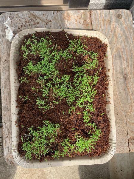 カモミールに芽が出てきています。 間引きの仕方がわからず困っています。どうすればいいでしょうか?