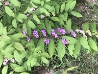 この雑草はなんて言う名前の雑草ですか?家の庭に生えてて色が美味しそうだから食べても大丈夫でしょうか?