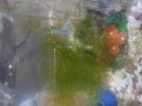 メダカの飼育 エサの食べ残しが水草に付着してしまいます。 メダカは付着したエサは食べてくれません。 確か3文字の浮き草だったのですが、名前を忘れてしまいました。 何か対処法はありますか?