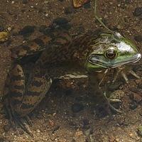 すぐ近くの小川に大きなカエルがいるのですが、このカエルの名前は何でしょうか? 子供と一緒にザリガニ釣りをしているときに見かけるカエルで、釣り竿使って針にミミズを付けたら釣れました。座っている姿勢でも大人の手のひらサイズあります。  水から頭だけ出して浮かんでいることが多いですが、警戒心が強くて近づくとササッと草むらの中に飛び込み隠れます。隠れこんだた草の付近に餌を入れてガサガサっと動かしてや...