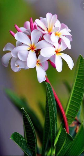 どなたか、このお花の名前を教えてください!!