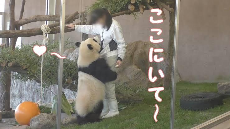 大人のパンダの檻に入ったら殺されますか? パンダはクマ、猛獣ですが、クマの中でもおとなしいほうだと言われてます。画像のパンダは普通に人殺せる大きさですが、普通に飼育員さん入ってますしどうなんでし...