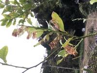 レモンの木の病気について質問です。実家で亡くなったおばあちゃんが大事に育ててたレモンの木の葉が枯れたような感じで元気がありません。 病名や対処方など、詳しい方教えてください。