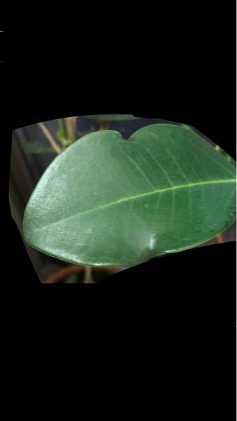 最近、ゴムの木の葉っぱがこのように形が変わってしまいました。 これの原因はなんですか??