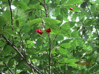 この木の名前を教えて下さい。 先日登った山の登山道脇に生えていました。  変った形の赤い実がよく目立ちました。  ご存知の方、よろしくお願いいたします。
