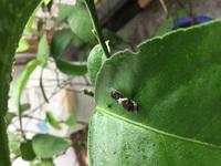 芋虫 レモンの葉っぱについてるこの芋虫は何の芋虫ですか? 駆除した方が良いでしょうか?  アドバイスよろしくお願いします!