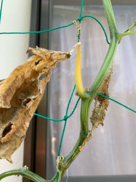 きゅうりの茎が黄色くなって葉っぱが枯れてしまいます 何かの病気でしょうか? 対処法など知りたいです。
