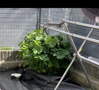庭に生えてきたのですが、雑草ではなさそうで観葉植物に見えるのですがわかる方いらっしゃいますか??