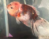金魚の病気について 最近、大きな金魚を飼うことになったんですが 頭の赤いところが気になります。 これは病気なのでしょうか