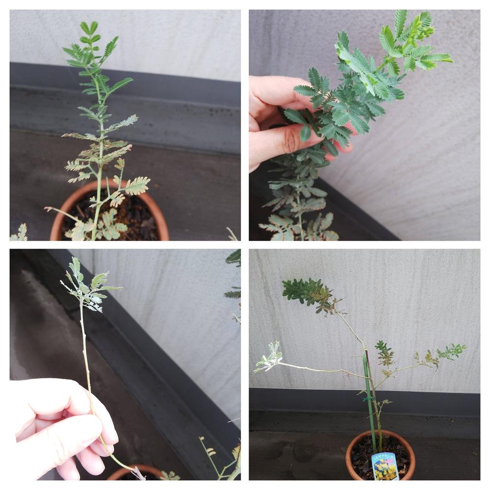 ミモザの鉢植えですが、枝先だけ元気でその他が枯れてしまっています。 このまま育てた方が良いのか...
