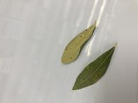 鉢植えのオリーブの葉に斑点が付いて新芽にも次々と付いてしまいます。原因と対処法が分かれば教えて下さい。