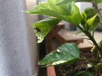 こんばんは。 鉢植えのハイビスカスの葉に写真のように小さな黒色の粒のようなものが沢山着いて最後は葉っぱが巻いてしまいます。虫がいるのでしょうか?対処方法を教えて下さい。 よろしくお願いします。