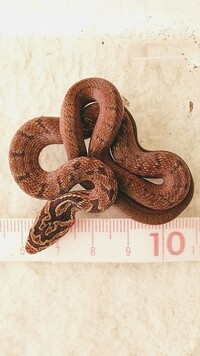 ヘビの種類を教えて下さい。昨日見つけました。 落葉や腐葉土に潜るのでジムグリと言うヘビかと思いましたが分かりません。頭が1.5cm位で全体は30cm位の大きさです。 宜しくお願いします。